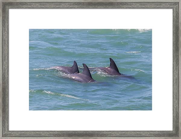 Dolphin Trio Framed Print