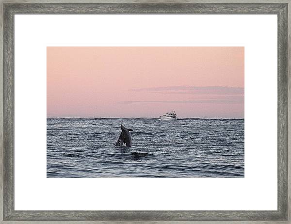 Dolphins At Play Framed Print