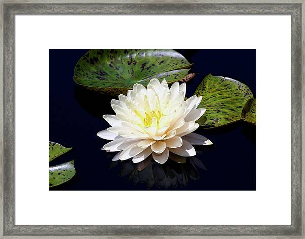 Dotty White Lotus And Lily Pads 0030 Dlw_h_2 Framed Print
