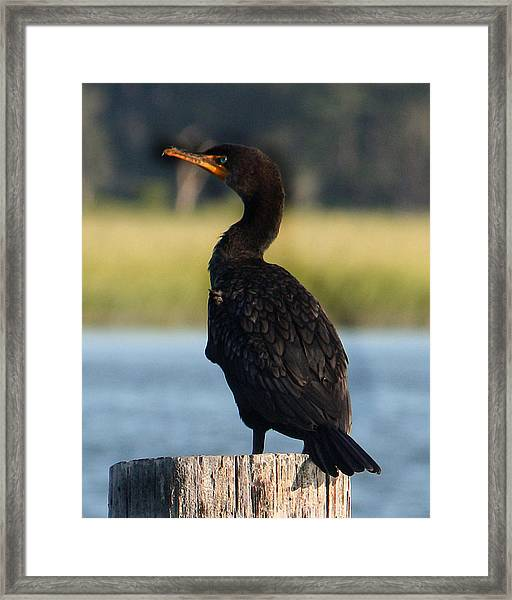 Double-crested Cormorant 1 Framed Print