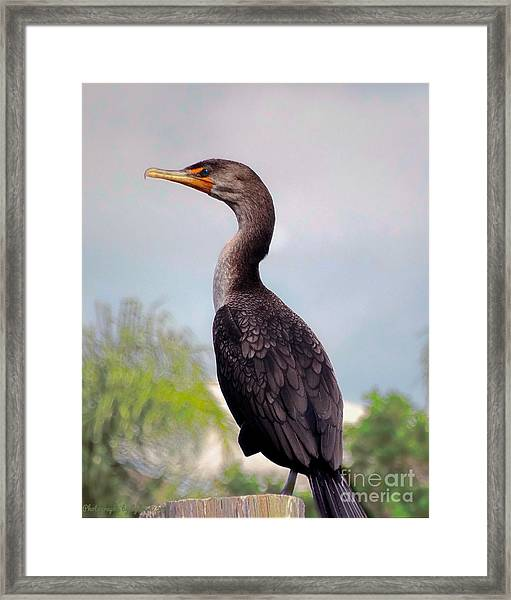 Double Crested Cormorant Framed Print
