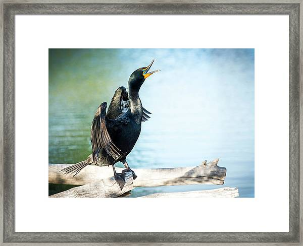Double-crested Cormorant Framed Print