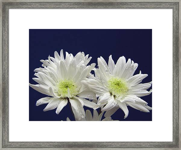 Double Dahlia Framed Print