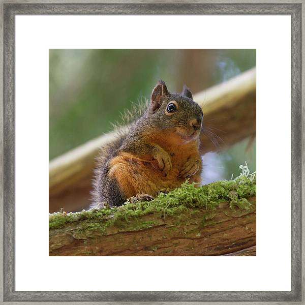 Douglas Squirrel Framed Print