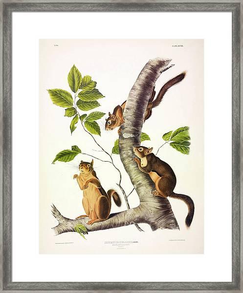 Douglass's Squirrel Framed Print