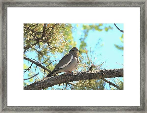 Dove In Pine Tree Framed Print