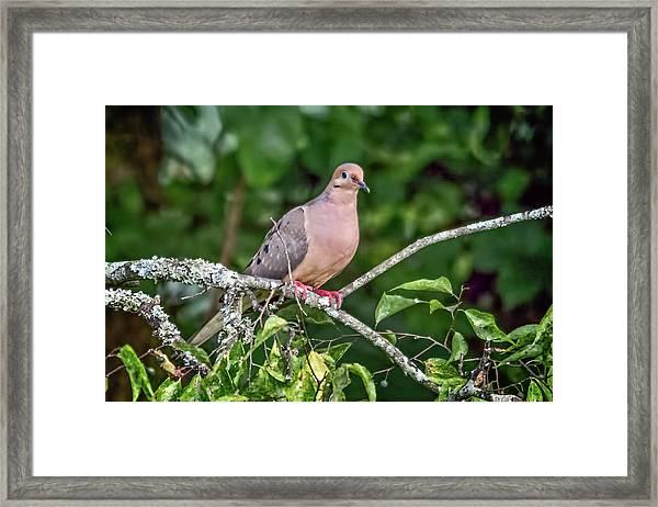 Dove On A Branch Framed Print
