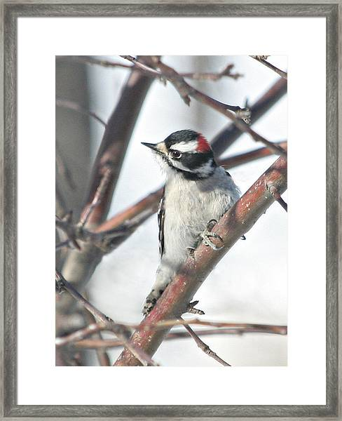 Downy Woodpecker In An Apple Tree Framed Print by Laurie With