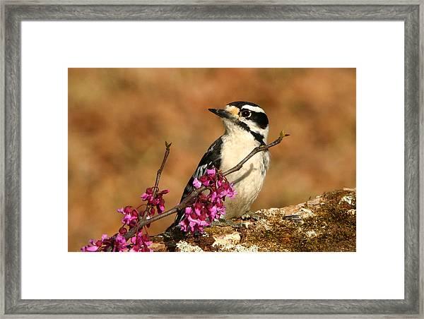 Downy Woodpecker In Spring Framed Print