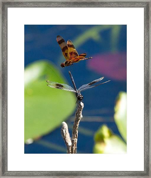 Dragon Fly 195 Framed Print
