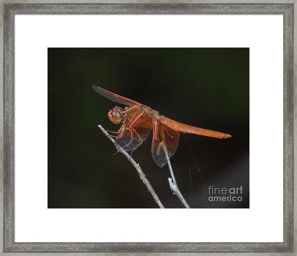 Dragonfly 11 Framed Print