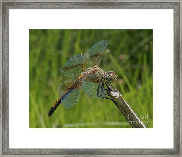 Dragonfly 8 Framed Print