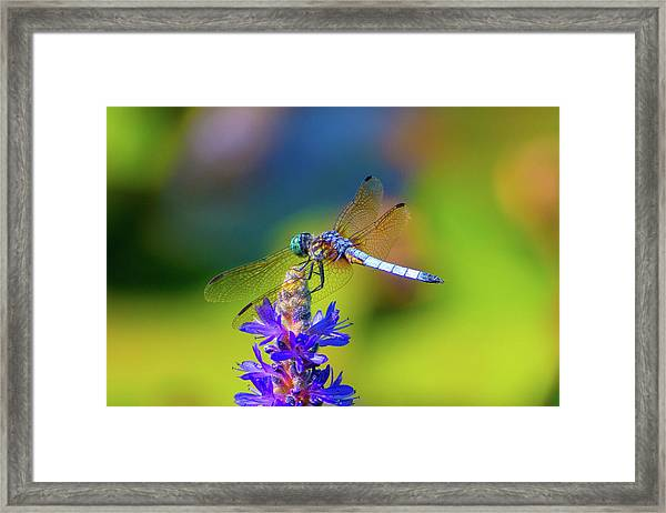 Dragonfly And Purple Flower Framed Print