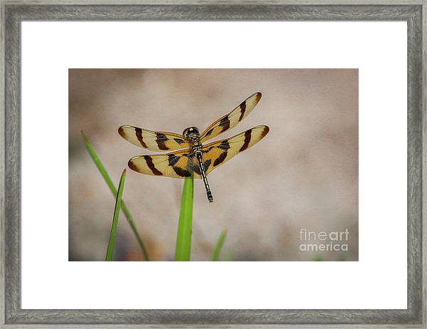 Framed Print featuring the photograph Dragonfly On Grass by Tom Claud