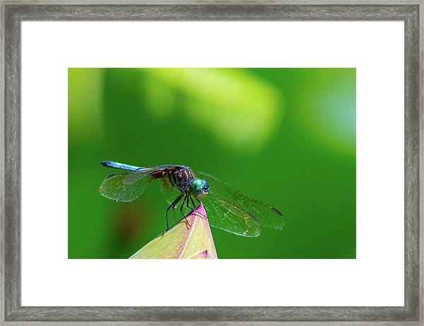 Dragonfly On Lotus Bud Framed Print