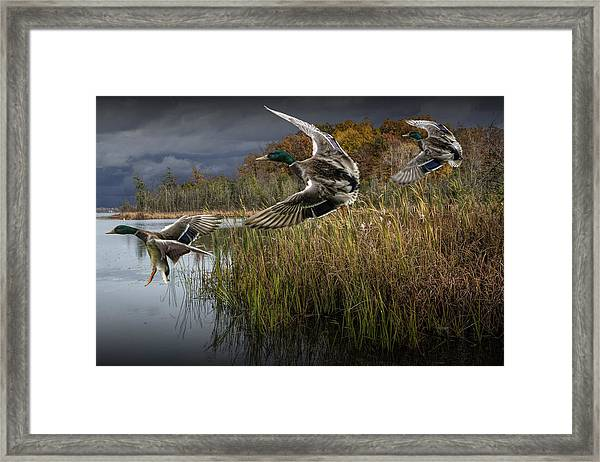 Drake Mallard Ducks Coming In For A Landing Framed Print