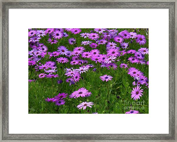 Dreaming Of Purple Daisies  Framed Print