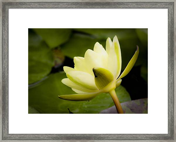 Dreamy Water Lilly Framed Print