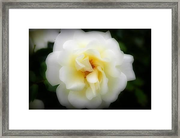Dreamy White Rose Framed Print