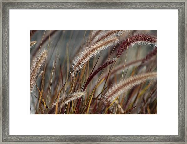 Dried Desert Grass Plumes In Honey Brown Framed Print