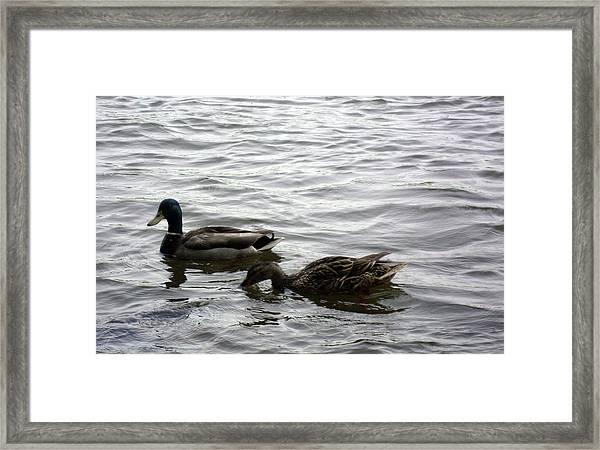 Drinking Duck Framed Print by Leigh Odom