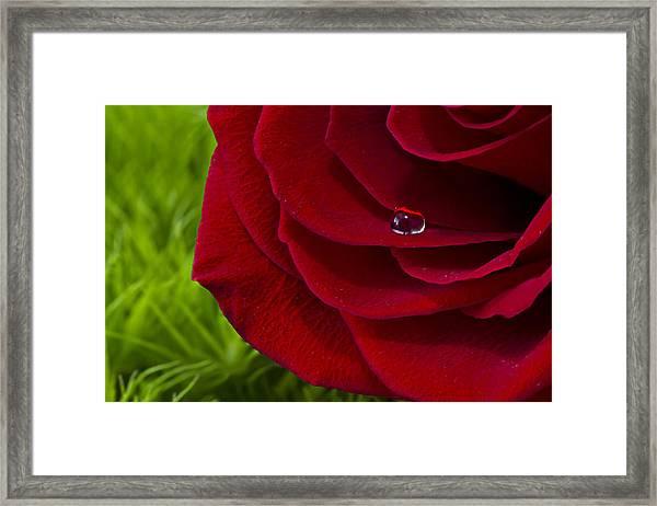 Drop On A Rose Framed Print