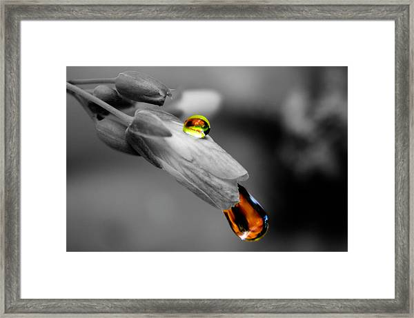 Drops On A Blossom Framed Print