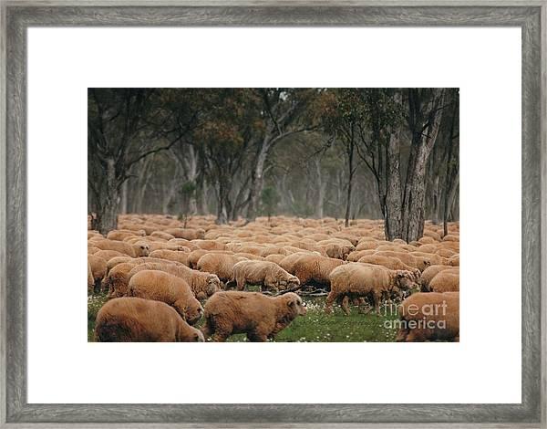 Droving Sheep  At Albert Australia Framed Print