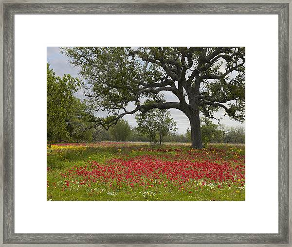 Drummonds Phlox Meadow Near Leming Texas Framed Print