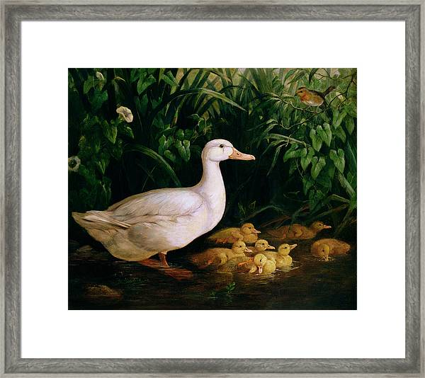 Duck And Ducklings Framed Print