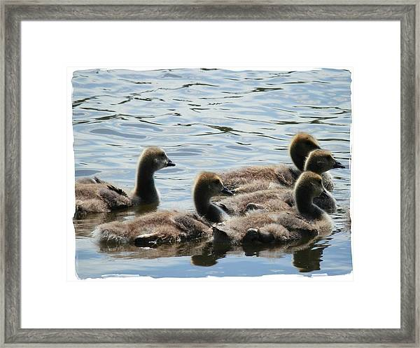 Duck Babies On The Water Framed Print