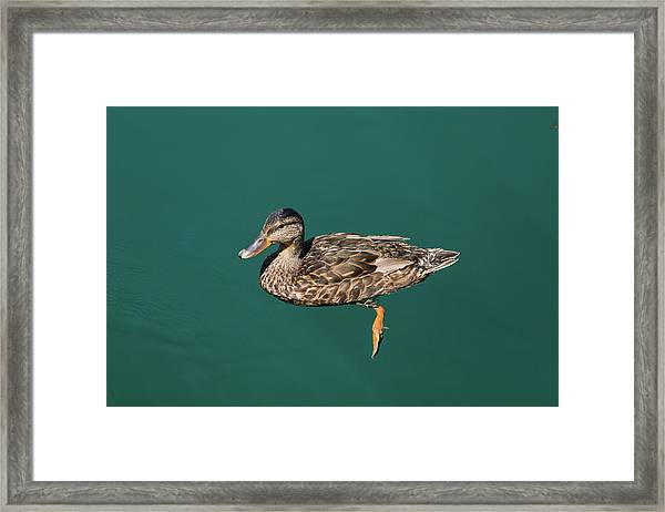 Duck Floats Framed Print