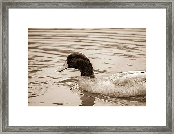 Duck In Pond Framed Print
