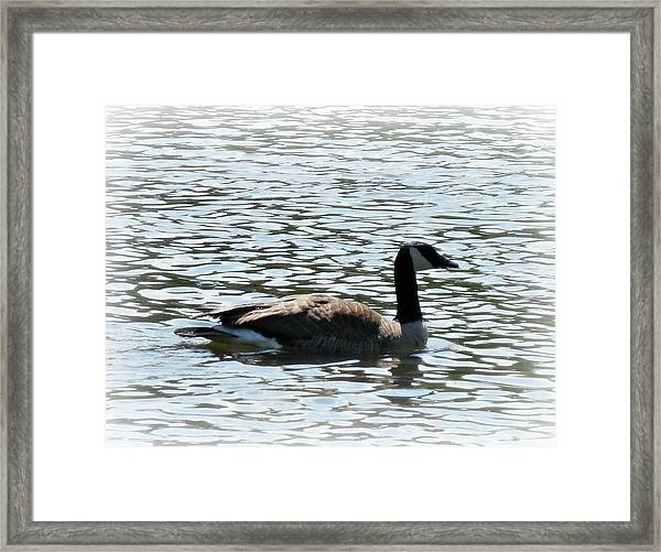 Duck In The Water Framed Print