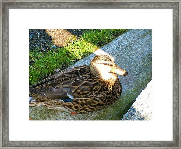 Duck Melanie Tweed In  The Sun Framed Print