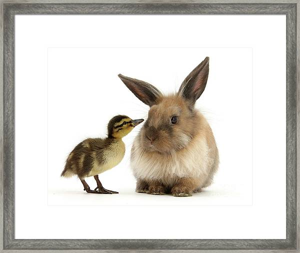 Duck Out Bunny Framed Print