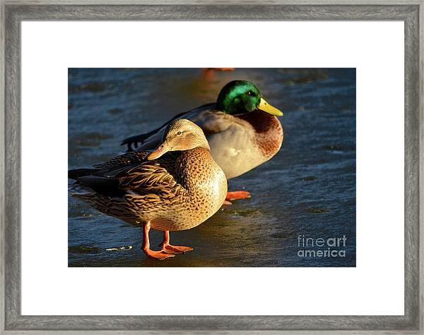 Duck Pair Sunbathing On Frozen Lake Framed Print
