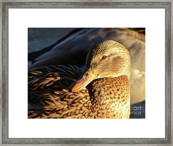 Duck Sunbathing Framed Print