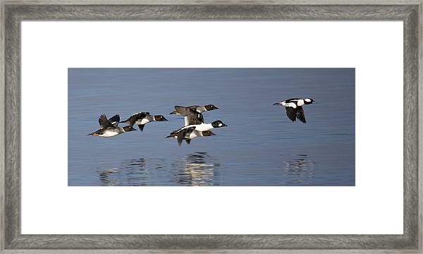 Framed Print featuring the photograph Duckin Out by Randy Hall