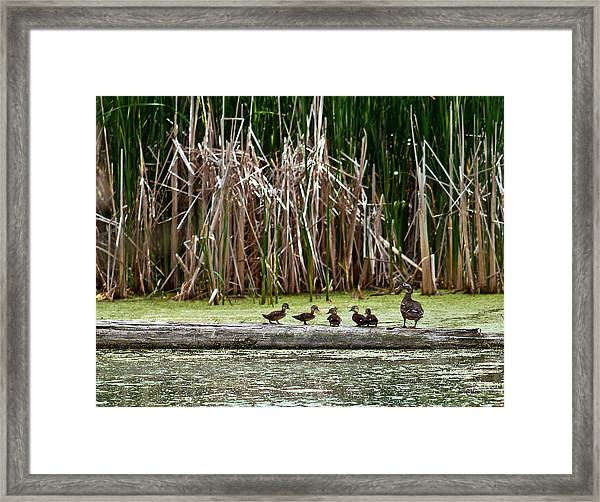 Ducks All In A Row Framed Print