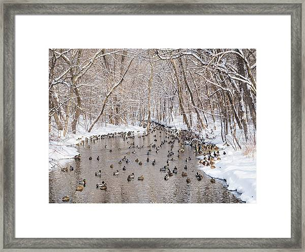 Ducks In A Creek Framed Print