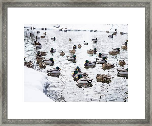 Ducks Swimming By Snowy Shore Framed Print