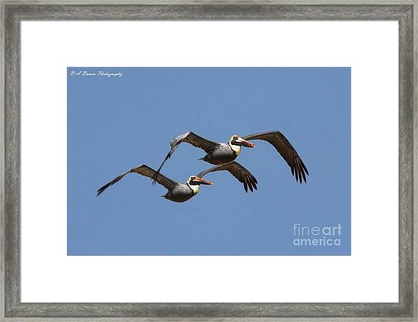 Duel Pelicans In Flight Framed Print