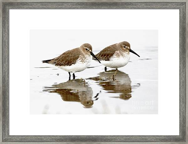 Dunlin Seeing Double Framed Print