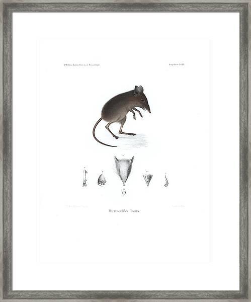 Framed Print featuring the drawing Dusky Elephant Shrew, Elephantulus Fuscus by J D L Franz Wagner
