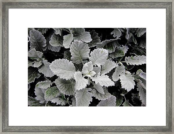 Dusty Miller Framed Print
