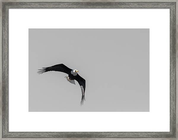 Bald Eagle Flight Framed Print