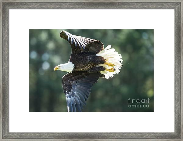 Eagle Flying 3005 Framed Print