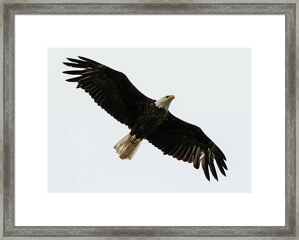 Eagle From Below Framed Print