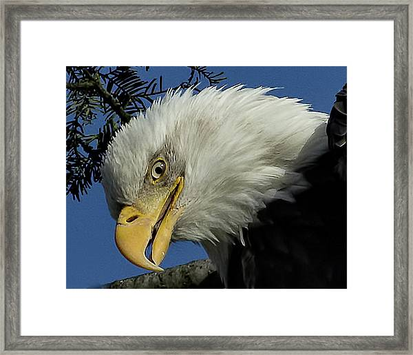 Eagle Head Framed Print